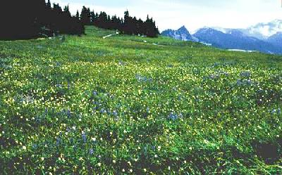 During the summer at Hurricane Ridge, subalpine flowers blanket the patchy meadows...